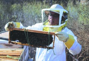 Holding Honey: Nakiessa Abbassi, president of CLU Beekeepers Club, inspecting the bees. Photo by Clara Berks- Staff Photographer