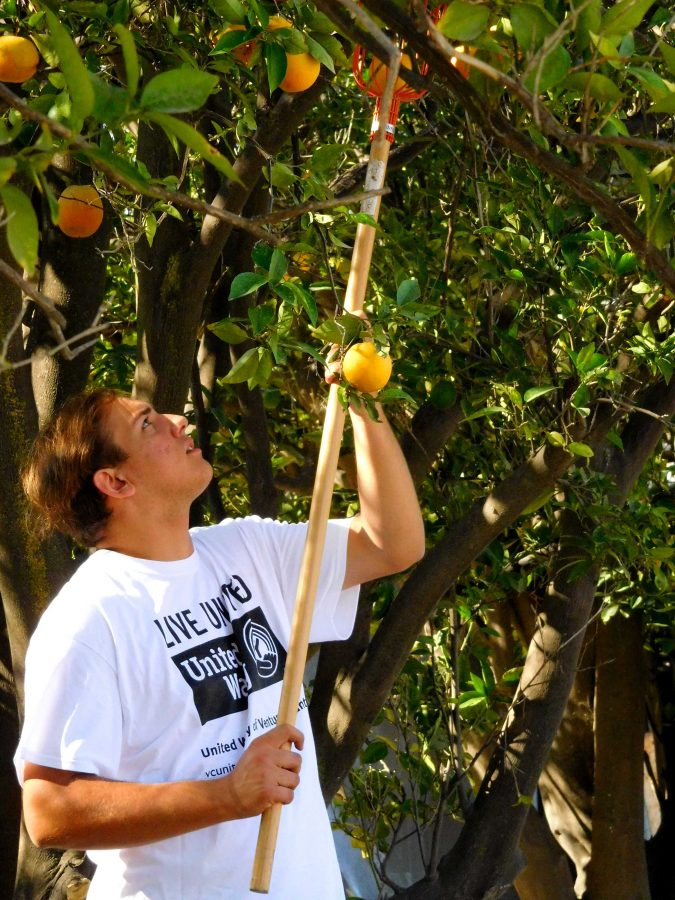 Harvesting oranges to share with the community in need: Moorpark College student Ben Argabrite said he came with his friend Bailey Borup, a student at Cal Lutheran, to one of the Day of Caring projects on Saturday. Argabrite and Borup came together with other students and individuals from the Ventura County community to help Food Forward, a non-profit organization that donates unwanted or leftover food to those in need.  Photo by Aliyah Navarro - Photojournalist