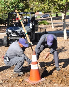 Cleaning up the county: Staff from the university Grounds department set one of the 44 trees into the newly overturned soil. The Grounds Department oversees the maintenance of all 245 acres of the university. Photo by Francisco Atkinson - Photojournalist