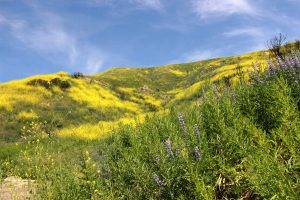 Hills of gold: The recent rain transformed the hills of Paramount Ranch near Agoura Hills into a wildflower paradise. While many people go far afield to places such as Antelope Valley to see the bloom, there any many hiking spots close to Cal Lutheran where native flowers can be seen.  Photo by Gabby Flores- photojournalist.