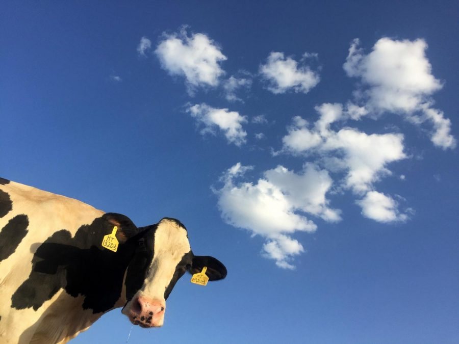 Cows milk is harmful to your health and the environment